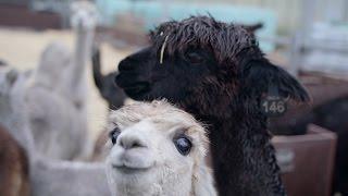De Uitdagers: De Alpaca Tracker van Het Internethuis