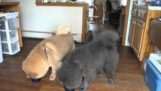 Chow Chow Training ... getting better 03.22.12