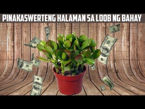 Maswerteng Halaman sa Loob ng Bahay na Nagdadala ng Limpak Limpak na Pera at Swerte