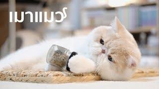 เมาแมว แมวเมา Crazy Cat