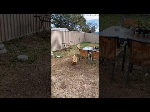 """סרטון של כלב עצלן שלא רץ במשחק """"תפוס את..."""""""