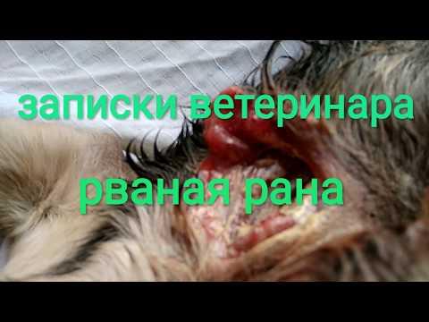 Записки ветеринара. Рваная рана.