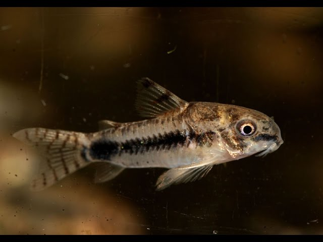 Salt and Pepper Cory, Corydoras habrosus  Species Spotlight