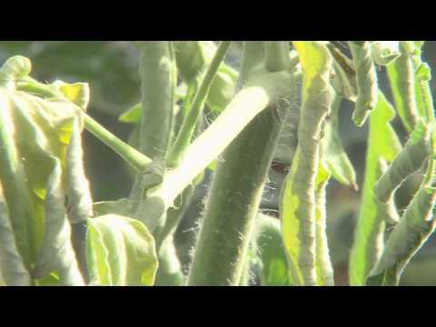 Les biostimulants en maraichage