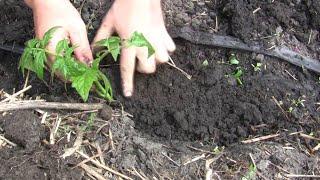 Секреты высадки рассады помидоров видео