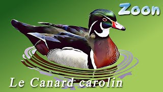 Le Canard carolin – The  Wood Duck