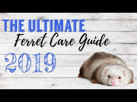 Ultimate Ferret Care Guide 2019