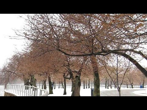 , title : 'Washington DC's cherry blossoms awaken, get hit with snow'