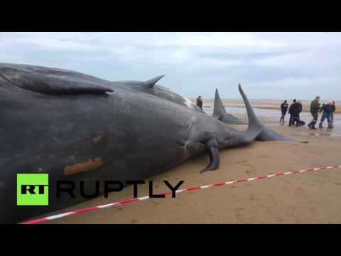 RAW: Dead Sperm Whales Washed Up On UK Coast, Awe Locals Mp3