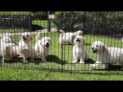 Que lindos son los cachorros Golden San Martín / Criadero Golden San Martín.