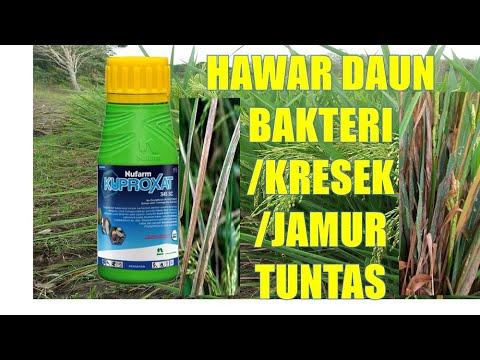 Hagyma tisztítása a parazitáktól