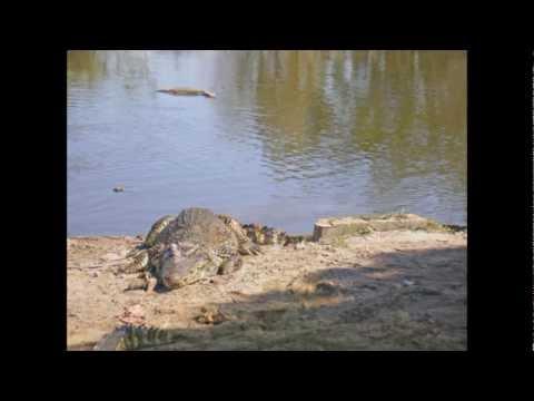 Cuba Parque Nacional Ciénaga de Zapata crocodile Farm Krokodillenfarm en restaurant