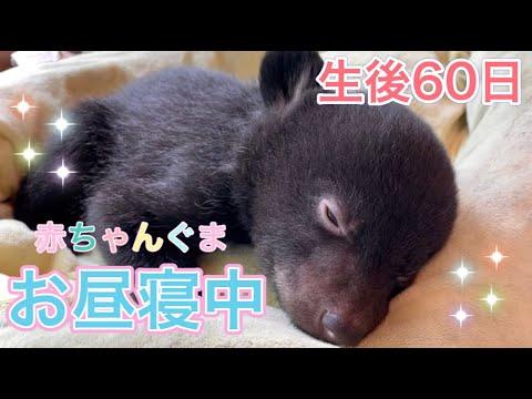 【生後60日】赤ちゃんぐまのお昼寝タイム