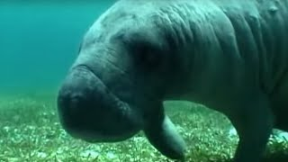 Manatee - in the Caribbean