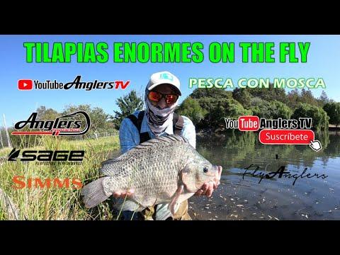 Tilapias Enormes Pescadas con Mosca / Tilapia On The Fly
