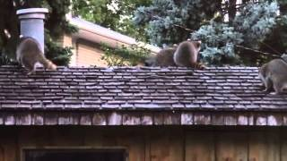preview picture of video 'Family of Raccoons on the Cabana Roof'