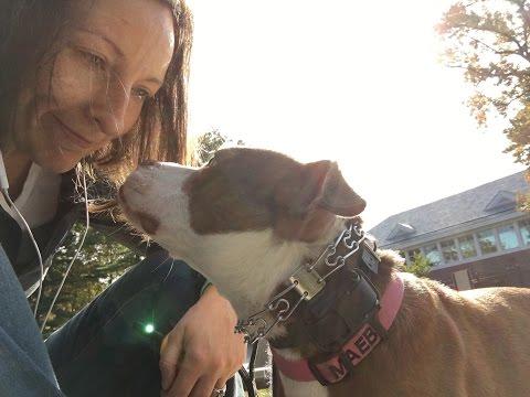 Leash Reactive American Pitbull Terrier Behavior Modification