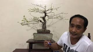 Basic Bonsai Lessons: How to train the Apex of your Bonsai Tree Part I