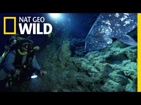 Sulawesi coelacanth in Indonesien