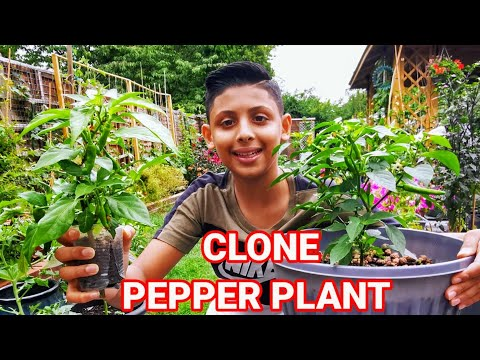 , title : 'How To Clone Hot Pepper | Plant Propagation For Beginners