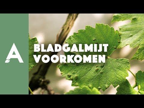 Hoe de bladgalmijt bij druiven voorkomen?
