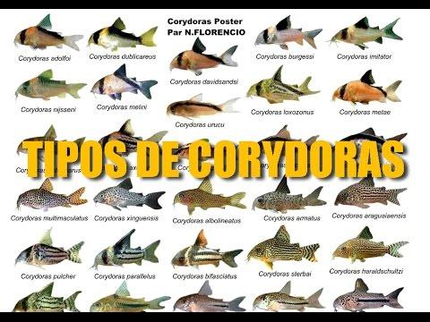 DIFERENTES TIPOS DE CORYDORAS