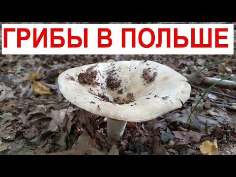 Польский лес ТИХАЯ ОХОТА ЗА ГРИБАМИ В ПОЛЬШЕ