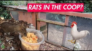 RATS IN THE COOP? | How to HUMANELY deal with rats in your chicken coop