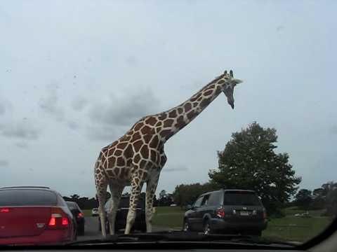 Giraffe in the Safari ride New Jersey Six Flags