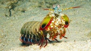 Ce crustacé est le meilleur boxeur du monde - ZAPPING SAUVAGE