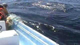 Humpback whale gives show after being rescued.