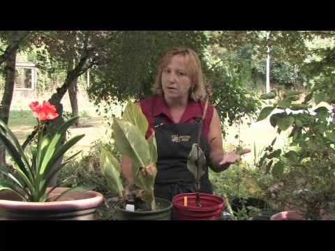 How to Prune Cannas