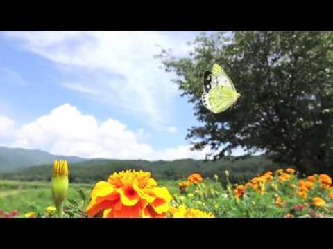 モンキチョウの求愛飛翔
