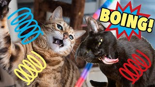 BOING! Funny Bouncing Cats, Coco and Haroun!