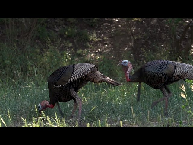 Bushnell Grand Slam: Rio Grande Turkey Hunt