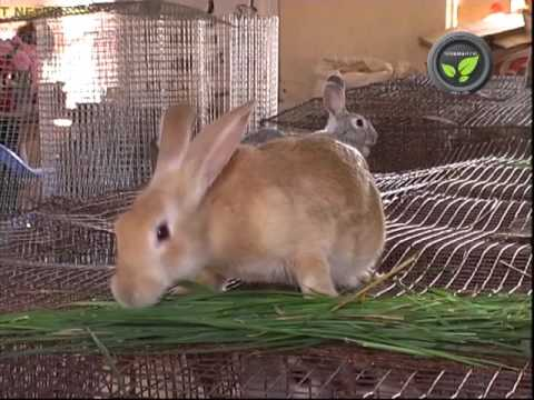 , title : 'Commercial Breeds of Rabbit   Russian Grey Giant, Black Giant, Tiger Giant and Soviet Chinchilla