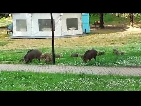 Cinghiali al Vallone di Poggibonsi - Siena