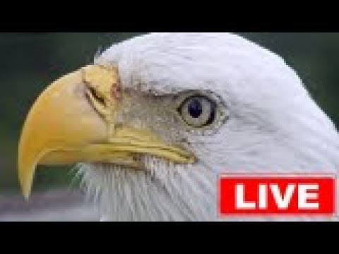 eagle, animals, birds, wildlife