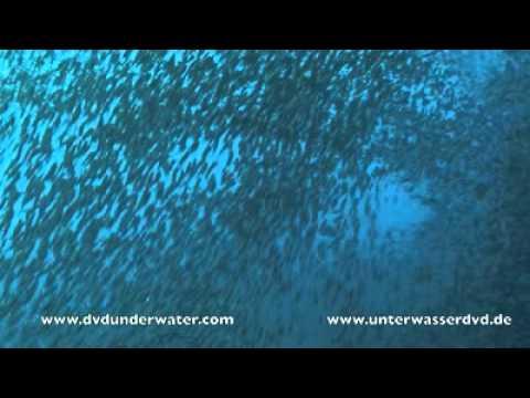 Tauchen mit Fuchshaien, Moalboal/BlueAbyssDiveShop,Philippinen