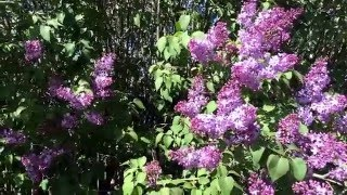 lilac and apple tree