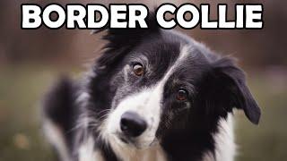 Film do artykułu: Najmądrzejsze rasy psów....