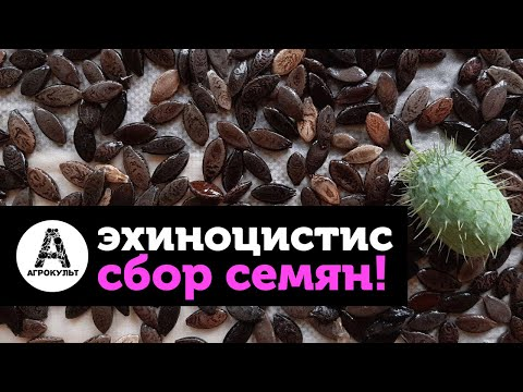 Эхиноцистис лопастный, ежовник, колючеплодник, иглистый огурец - собираем урожай!