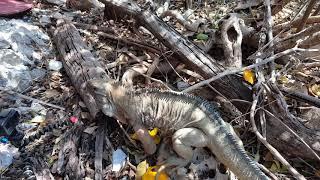 Jamaica Iguana