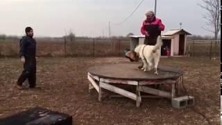 Aras Rocco Stallone e Poi Su Addestramento Pastore Svizzero Bianco 6/3/2018 Video 2