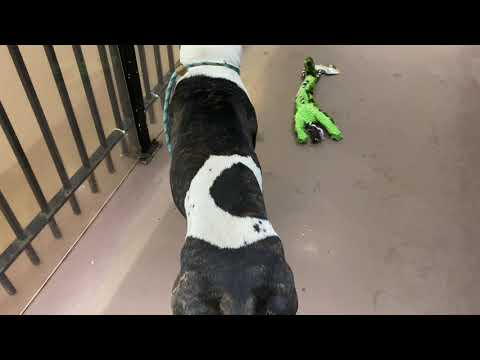 Steel Buttons, an adopted Pit Bull Terrier Mix in Chicago, IL_image-1
