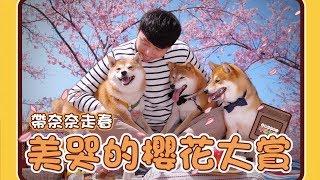 【阿楞奈奈不汪此生#5】帶奈奈走春!美哭的櫻花大賞