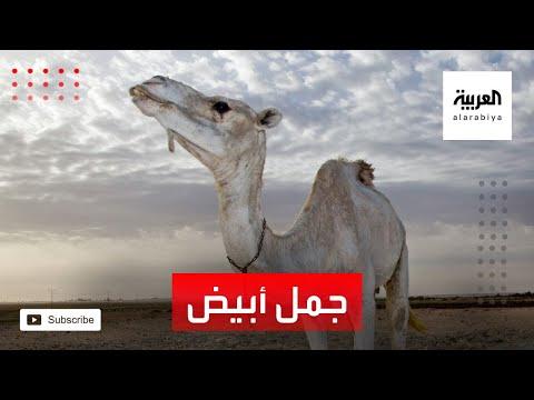 العرب اليوم - شاهد: أول جمل أبيض في العالم