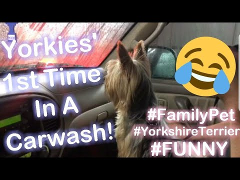 YORKIE TO THE RESCUE IN A CAR WASH!😂|VLOG|Family Pet|Yorkshire Terrier|Dog|Funny|Stay At Home Mom|