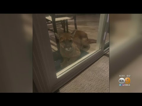 Caught On Video: Mountain Lion Lounges Next To Sliding Glass Door In Simi Valley