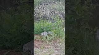 Delmarva Fox Squirrel - Threatened Species